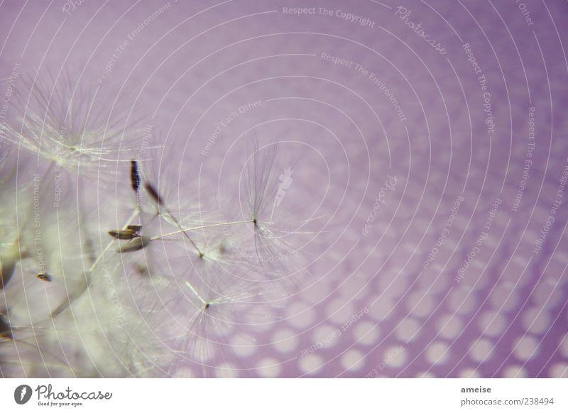 Pusteblume Natur weiß schön Pflanze Sommer Bewegung Wind fliegen frei violett Löwenzahn Zerstörung Wildpflanze Blume Makroaufnahme