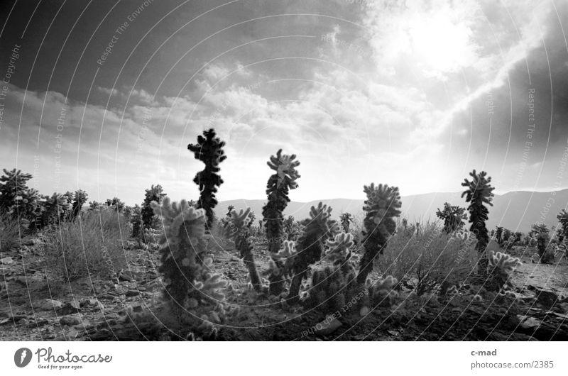 Joshua Ree National Park Kalifornien Joshua Tree Wolken Stimmung Gegenlicht USA Schwarzweißfoto Landschaft Kaktusfeld Sonnenlicht Menschenleer Wüste