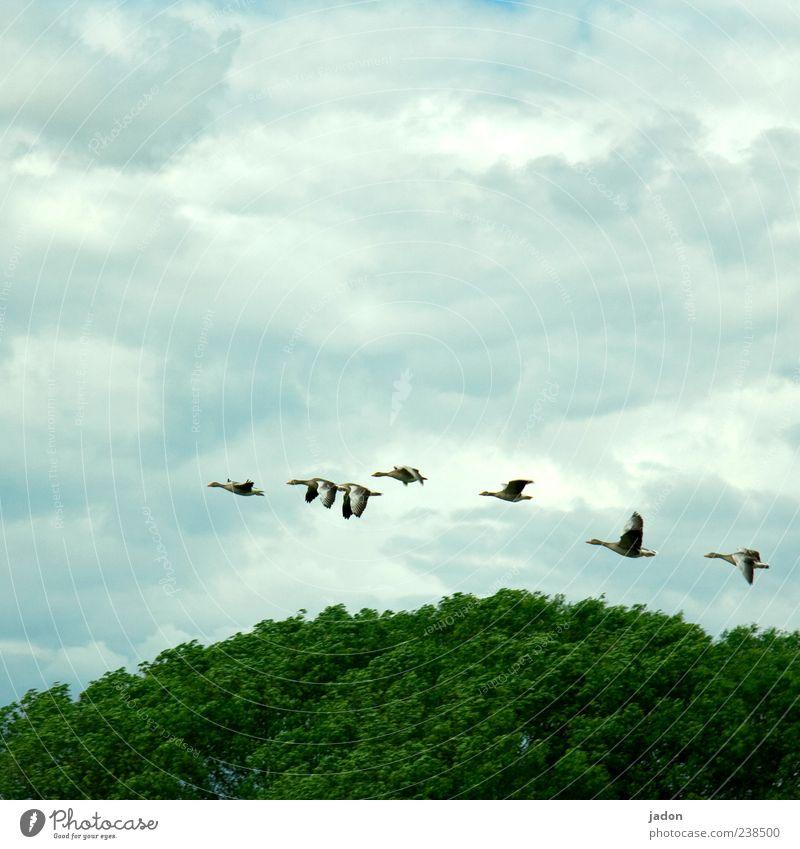 vielflieger. Baum Tier Wald Freiheit Vogel Wildtier fliegen elegant Flügel Dynamik Baumkrone Gans 7 Schwarm schwingen Wolkenhimmel