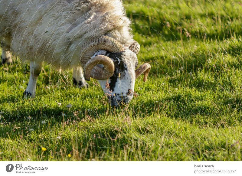 Natur Ferien & Urlaub & Reisen Mann grün Landschaft weiß Tier Berge u. Gebirge schwarz Gesicht Erwachsene Leben Umwelt Gras Tourismus Feld