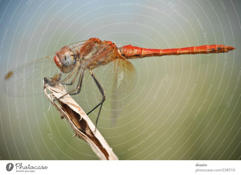 Sympetrum meridionale (Männchen) N°2 Umwelt Tier Flügel Insekt Libelle Libellenflügel 1 Fressen sitzen Farbfoto mehrfarbig Außenaufnahme Makroaufnahme