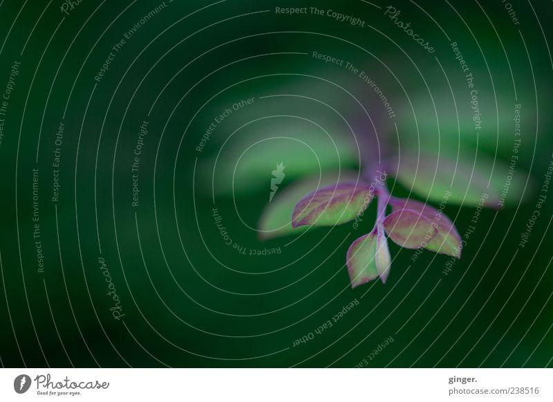 Trage mich auf deinen Flügeln Umwelt Natur Pflanze Frühling Sommer Sträucher grün Blatt Zweig geädert rot-grün einrichten Textfreiraum oben Wachstum Farbfoto