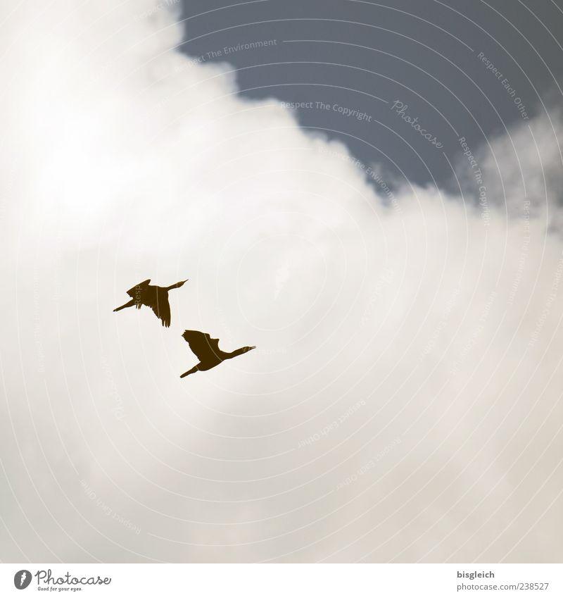Into the Blue Himmel Wolken Vogel Flügel 2 Tier Tierpaar fliegen blau weiß Freiheit aufwärts Farbfoto Gedeckte Farben Außenaufnahme Menschenleer