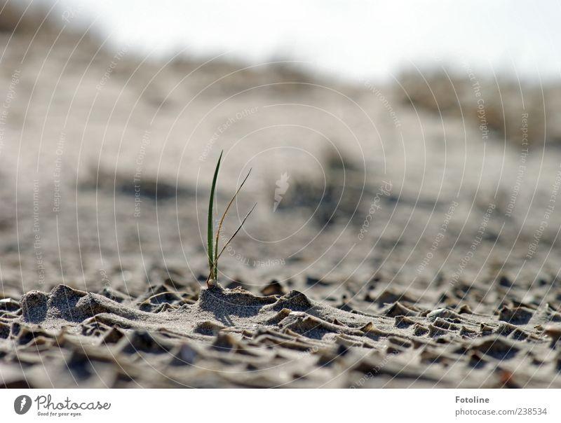 Spiekeroog | Einsamer Kämpfer Umwelt Natur Landschaft Pflanze Urelemente Sand Gras Wildpflanze Küste Nordsee hell nah natürlich grün Einsamkeit Wachstum