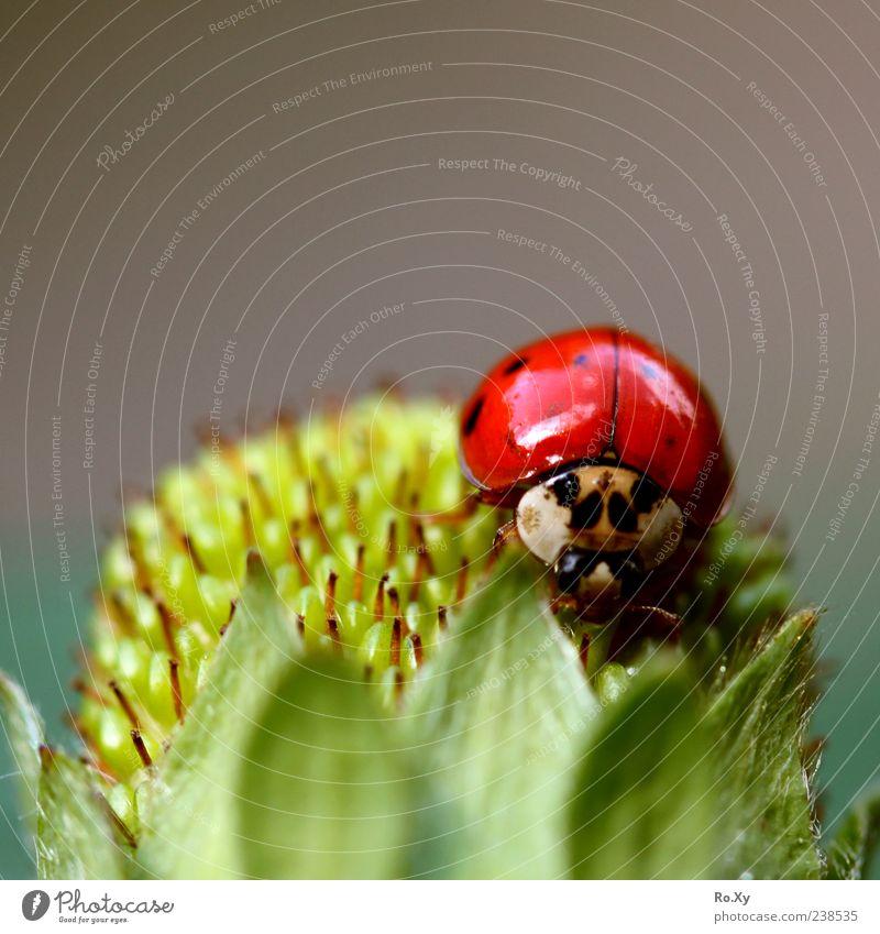 Fliegende Erdbeere Natur grün schön rot Sommer Freude Blatt Tier schwarz Bewegung Frucht fliegen Wachstum berühren Blühend Insekt