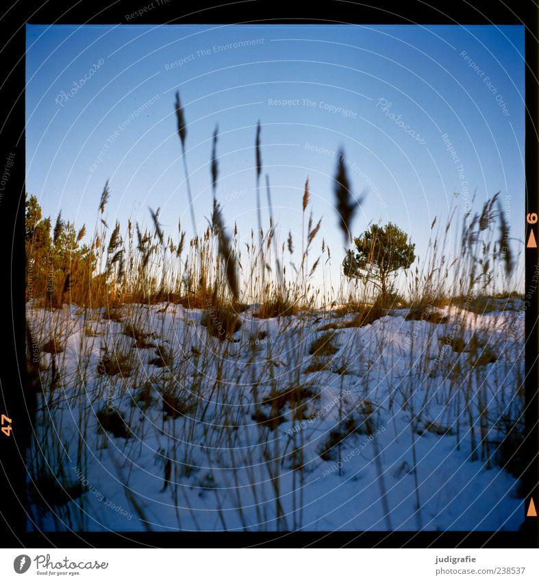 Darss Landschaft Pflanze Winter Schnee Baum Gras Darß natürlich wild Stimmung Farbfoto Außenaufnahme Menschenleer Tag Blauer Himmel Natur