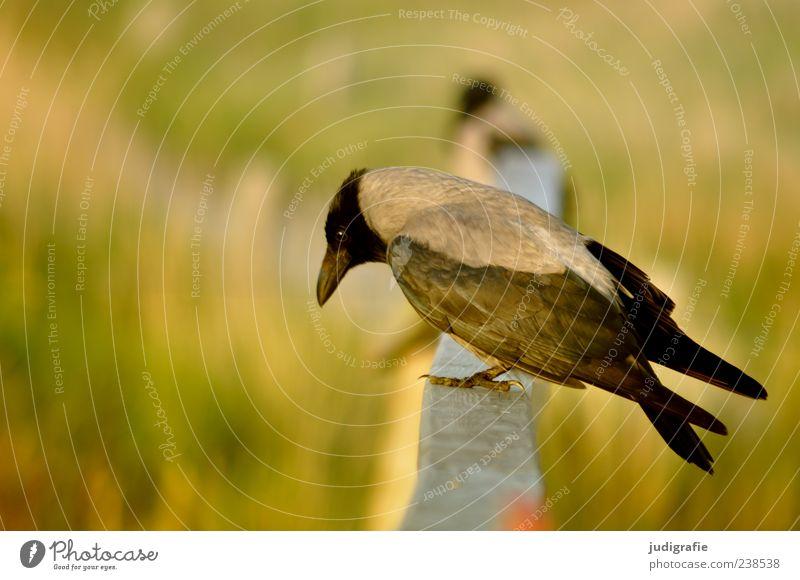 Hafen Umwelt Natur Tier Wildtier Vogel Aaskrähe 1 sitzen natürlich schön Stimmung Farbfoto Außenaufnahme Nahaufnahme Tag Tierporträt Profil Geländer