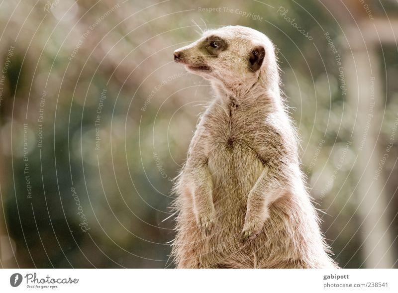 Der Wächter (Ein Tag im Zoo [no4] ) Tier Wildtier Fell Pfote Erdmännchen 1 beobachten stehen frech Fröhlichkeit Neugier niedlich klug braun Natur Zufriedenheit