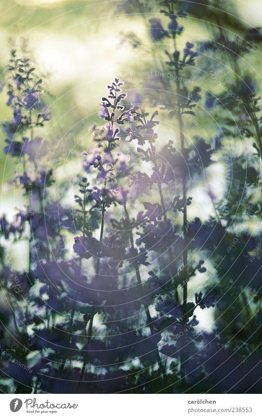 Daydream Natur Pflanze Garten gold grün violett Dunst Nebel Katzenminze Lavendel Gegenlicht Schwache Tiefenschärfe Farbfoto Gedeckte Farben Nahaufnahme