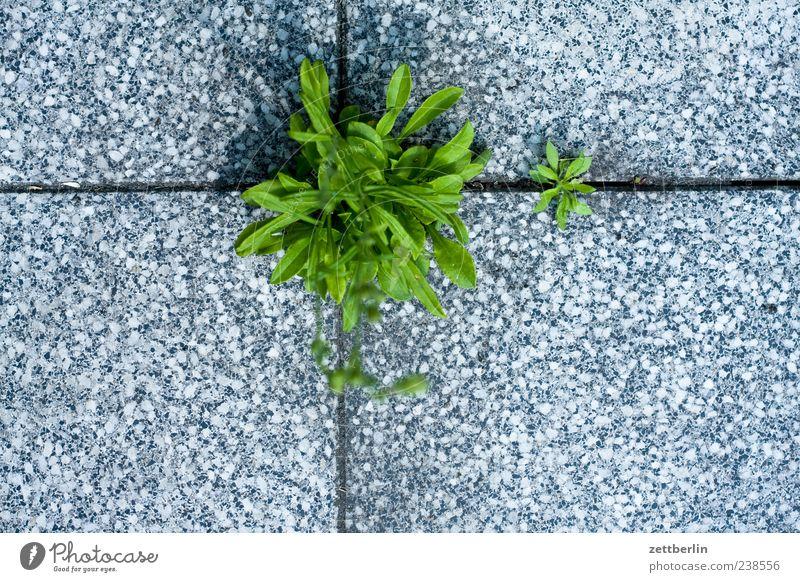 Glockenblume Natur Pflanze Sommer Blatt Umwelt Garten Erde Wachstum stark Fliesen u. Kacheln Terrasse Fuge Furche Grünpflanze Bodenplatten Durchsetzungsvermögen