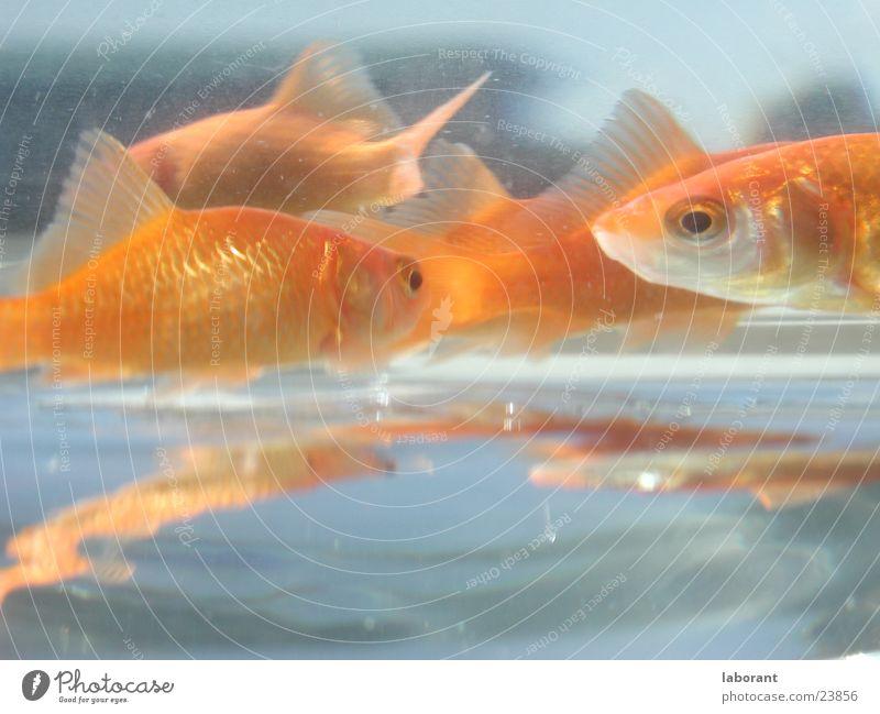 Fischstäbchen Goldfisch Aquarium Reflexion & Spiegelung Wasser Glas Schwimmhilfe Schwimmen & Baden