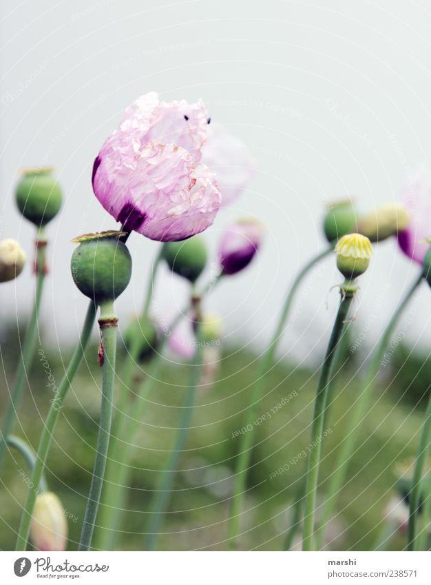 Mohnblume Natur Landschaft Pflanze Frühling Sommer Blume Blatt Blüte Nutzpflanze violett rosa Mohnblüte Mohnfeld Mohnkapsel Mohnblatt grün Farbfoto