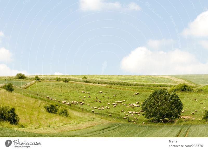 Schäfchenwölkchenbilderbuchidylle Umwelt Natur Landschaft Schönes Wetter Wiese Feld Weide Tier Nutztier Schaf Tiergruppe Herde blau grün Frieden Idylle ruhig