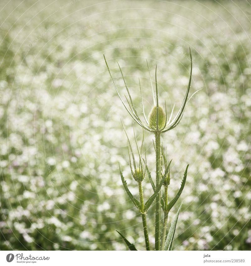 distel Natur Landschaft Pflanze Blatt Blüte Grünpflanze Distel Stauden Wiese Feld grün weiß Farbfoto Außenaufnahme Menschenleer Tag Wachstum Frühling schön