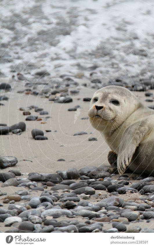hey dude! Strand Tier ruhig grau klein Stein Tierjunges liegen niedlich Tiergesicht Robben Flosse Robbenbaby Meeressäuger