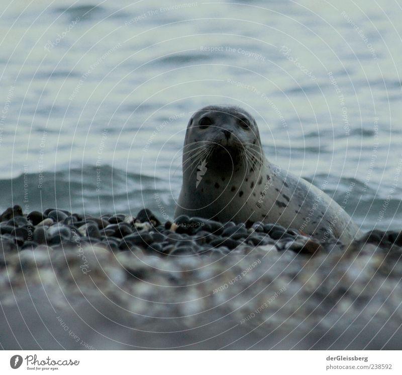 huch? Wasser Strand Tier ruhig Küste grau Stein Wellen natürlich nass Tiergesicht Seeufer Nordsee Meer Robben Ringelrobbe