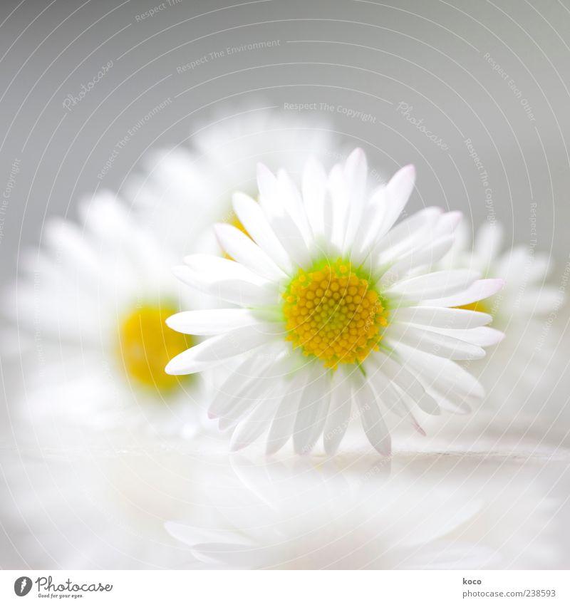 Sommerfrische Natur weiß grün schön Pflanze Blume gelb Frühling grau klein Blüte Stil elegant ästhetisch