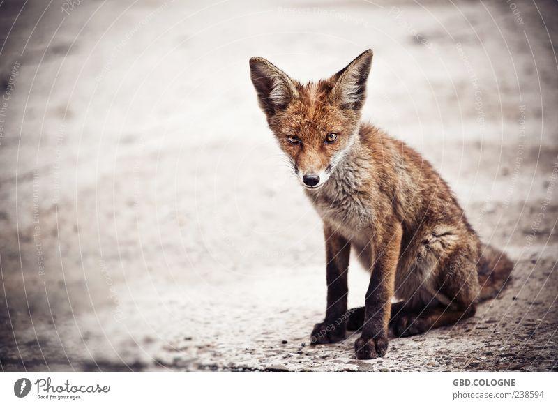 Fuchs, du hast die Gans gestohlen! Tier Wildtier 1 Tierjunges bedrohlich frech wild braun Fell Auge Ohr Pfote Appetit & Hunger Tierschutz Farbfoto