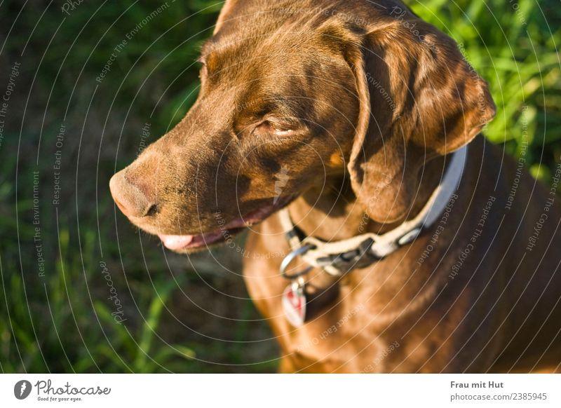 Sonnenhund Natur Hund schön grün Tier Wiese Gras Denken braun glänzend Abenteuer Schönes Wetter niedlich Freundlichkeit Neugier