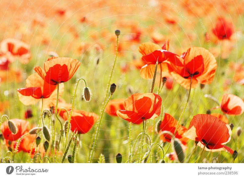 Sommerabend Natur Landschaft Pflanze Sonnenlicht Schönes Wetter Blume Mohn Mohnfeld Mohnblüte Klatschmohn rot Farbfoto Außenaufnahme Nahaufnahme Menschenleer