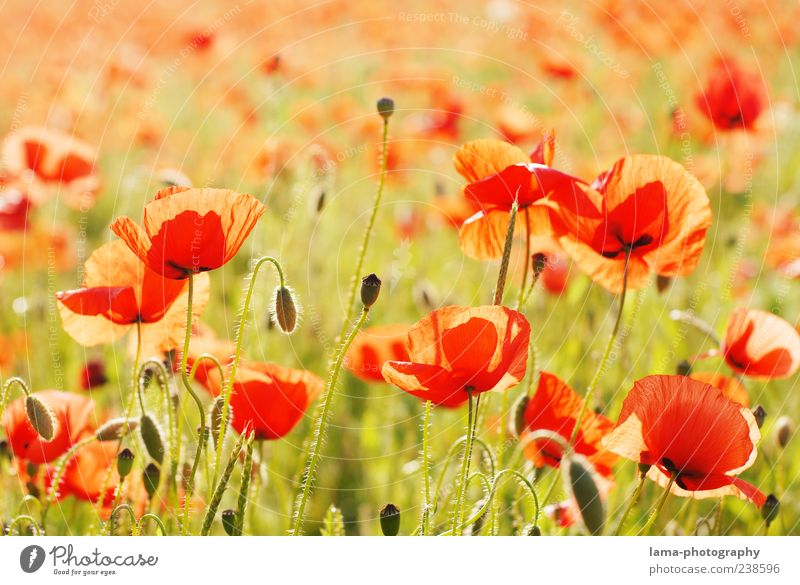 Sommerabend Natur Pflanze rot Blume Landschaft viele Schönes Wetter Mohn Mohnfeld Mohnblüte Klatschmohn