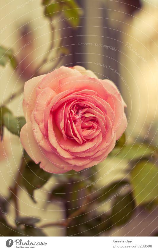 Rose Pflanze Blume Blüte elegant schön Farbfoto Außenaufnahme Nahaufnahme Tag Sonnenlicht Rosenblüte rosa 1 Blühend Menschenleer Blütenblatt