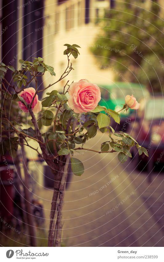 Straßenverschönerung Pflanze Blume Rose Blüte elegant Farbfoto Sonnenlicht Rosenblüte rosa Menschenleer Bürgersteig Unschärfe Blühend