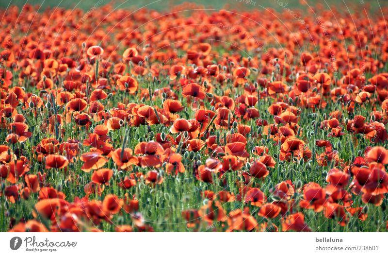 Roter Teppich. Natur Pflanze Sonnenlicht Sommer Schönes Wetter Blume Blüte Wildpflanze Wiese Feld schön Mohnfeld Mohnblüte Farbfoto mehrfarbig Außenaufnahme
