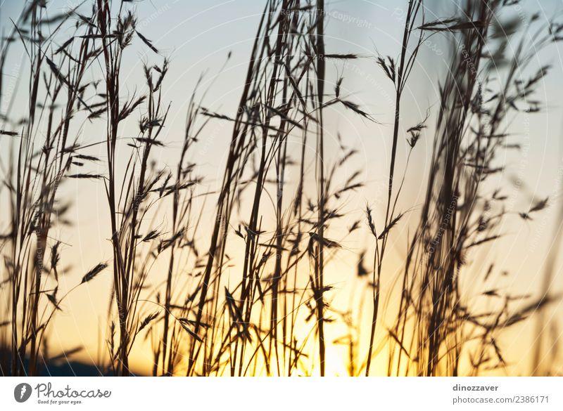 Speere aus Grassilhouette Sommer Sonne Natur Landschaft Pflanze Himmel Herbst Wachstum hell blau gelb Farbe Sonnenuntergang Hafer Weizen Feld Roggen ländlich