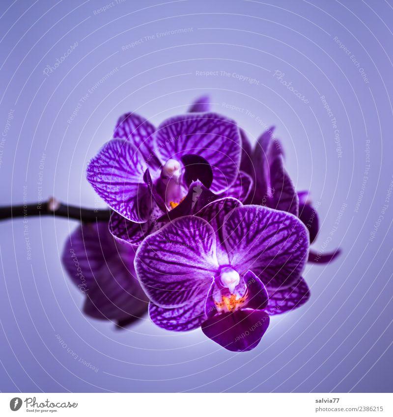 lila Orchidee Natur Pflanze Blume Blüte exotisch Blühend ästhetisch schön violett Duft Farbfoto Nahaufnahme Menschenleer Textfreiraum oben Textfreiraum unten
