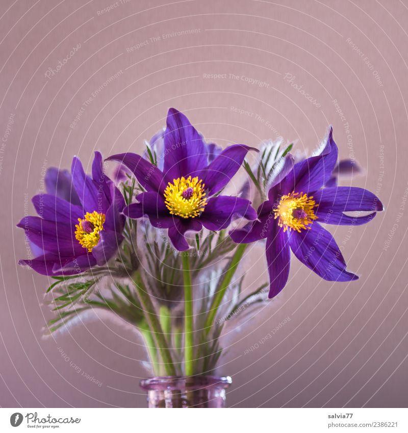 Kuhschelle Natur Pflanze Frühling Blume Blatt Blüte Wildpflanze Garten Blühend blau gelb grün Duft Blumenstrauß Farbfoto Innenaufnahme Nahaufnahme Menschenleer
