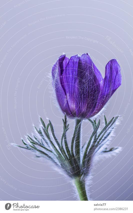 Pulsatilla Natur blau Pflanze Blume Frühling Blüte Gesundheitswesen Design Behaarung ästhetisch Blühend weich zart harmonisch Duft Sinnesorgane