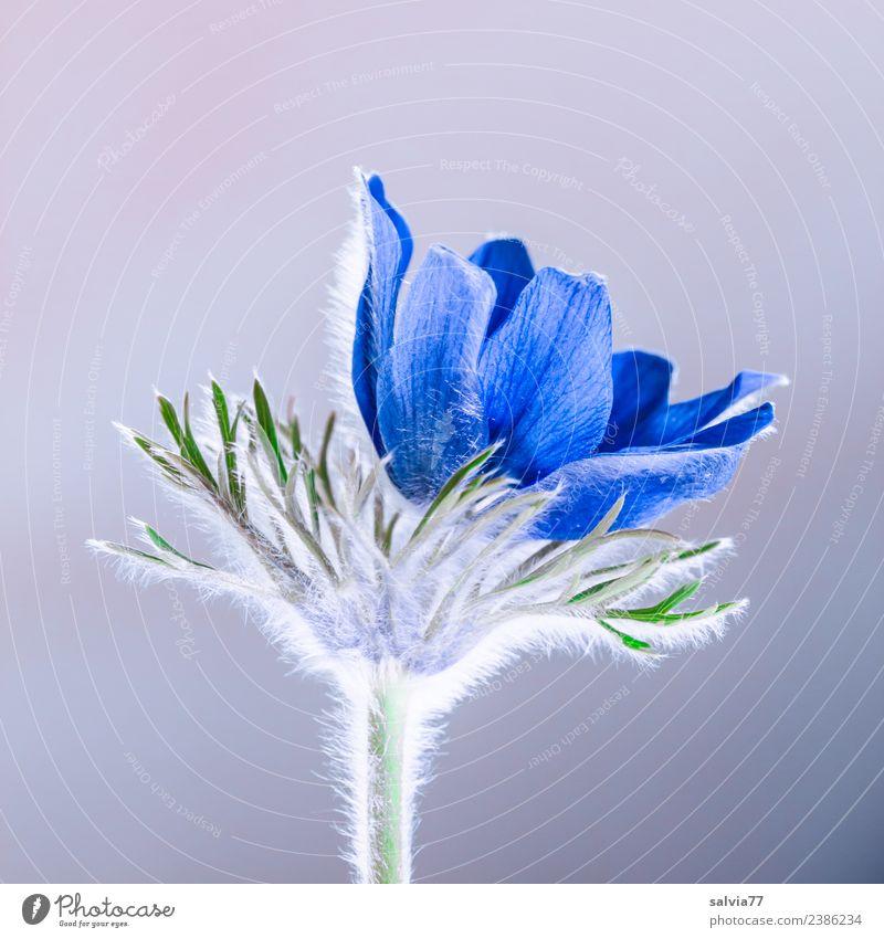feine Härchen Natur Pflanze Blume Blüte Frühling Garten ästhetisch Blühend weich Duft Alternativmedizin Kuhschelle