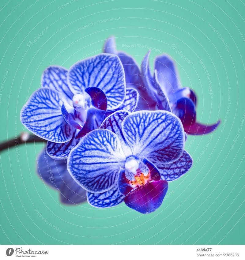 blaue Orchidee Natur Pflanze schön Blume Blüte Design ästhetisch Blühend türkis exotisch Duft Botanik