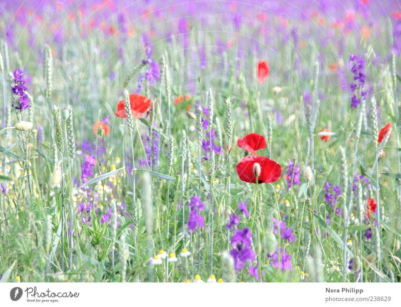 Mohn und mehr. Sommer Umwelt Natur Pflanze Sonnenlicht Blume Gras Blatt Blüte Grünpflanze Wildpflanze Halm Wiese Blühend mehrfarbig violett rot Duft Erholung