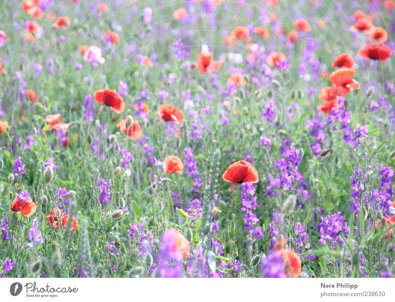 paradise meadow. harmonisch Umwelt Natur Pflanze Sommer Blume Gras Blatt Blüte Grünpflanze Mohn Mohnblüte Mohnfeld Wiese Blühend leuchten mehrfarbig violett rot