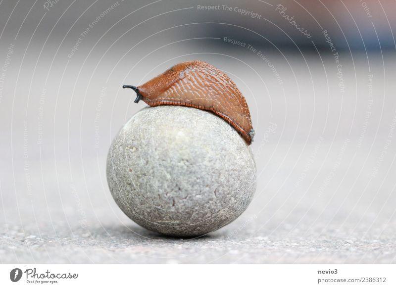Nacktschnecke auf rundem Stein Umwelt Natur Tier Wildtier Schnecke 1 braun grau Nacktschnecken Schneckenschleim langsam Kugel kugelrund aufsteigen Erfolg