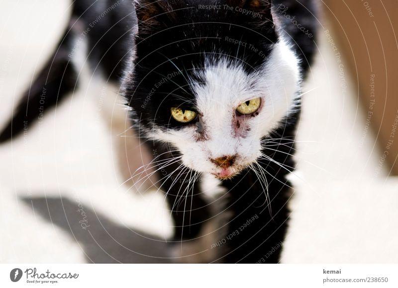 Am Lebensende Katze alt weiß Tier schwarz Auge gehen Fell Tiergesicht Müdigkeit Haustier Schwäche hässlich Tierliebe Bewegung