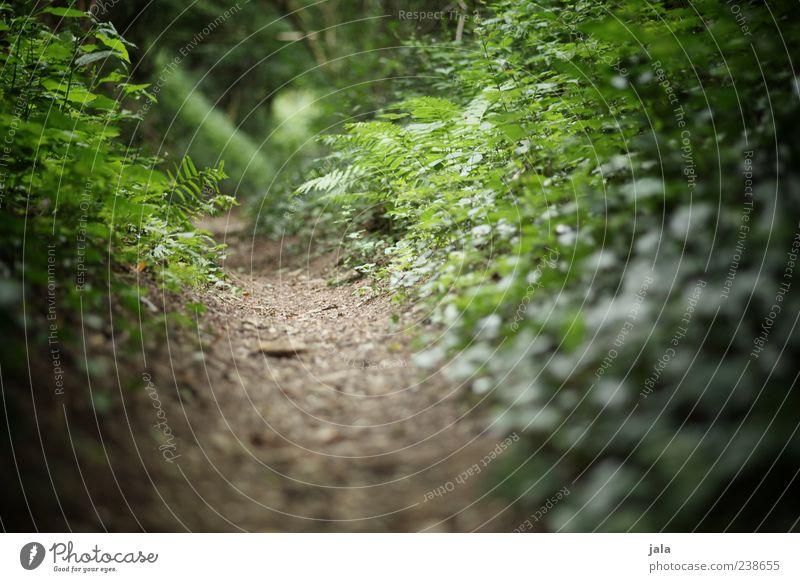 waldweg Natur Pflanze Erde Gras Sträucher Efeu Farn Blatt Grünpflanze Wildpflanze Wald Wege & Pfade grün Farbfoto Außenaufnahme Menschenleer Tag