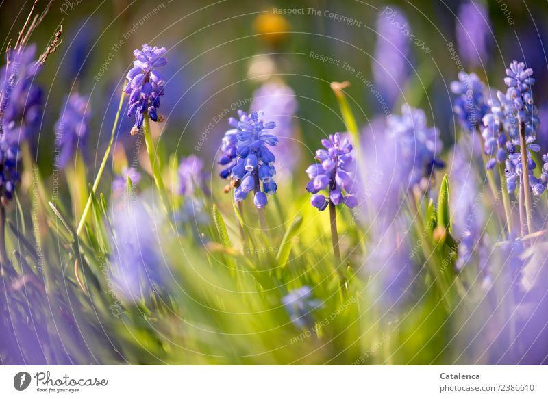 Hyazinthen im Abendlicht Pflanze Frühling Schönes Wetter Blume Blatt Blüte Garten Duft verblüht ästhetisch schön blau gelb grün violett Stimmung Vorfreude
