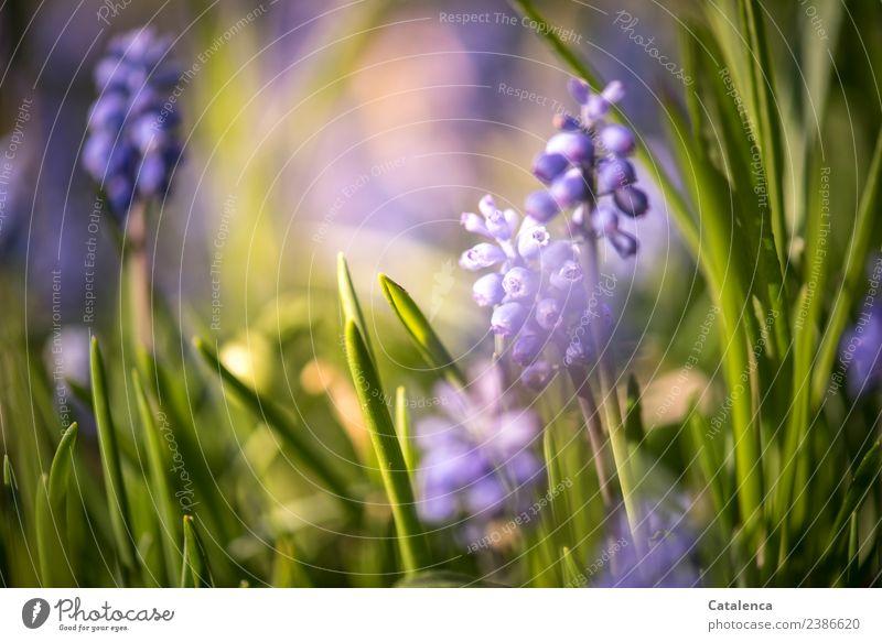 Hyazinthen im Abendlicht II Pflanze Frühling Schönes Wetter Blume Blatt Blüte Garten Duft verblüht Wachstum schön blau gelb grün violett Stimmung Fröhlichkeit