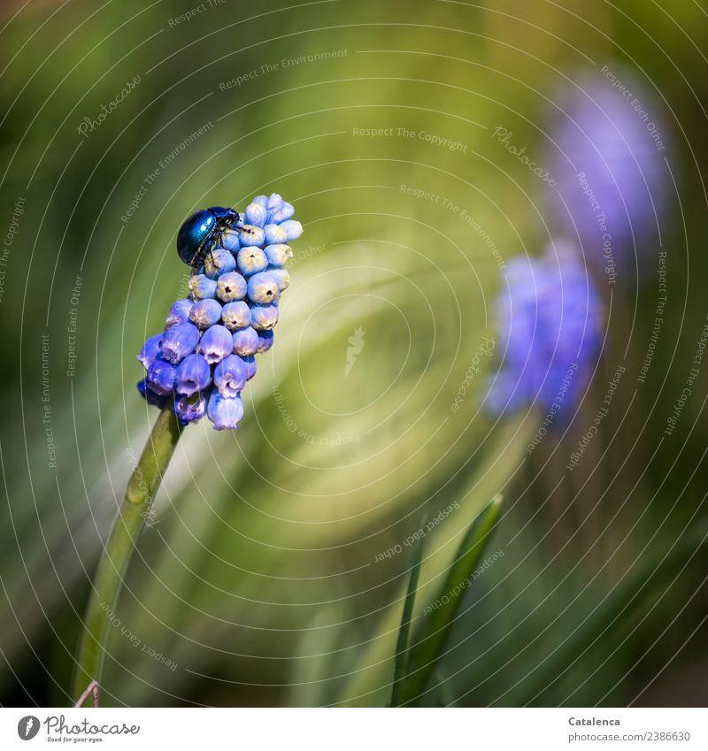 Himmelblauer Blattkäfer krabbelt eine Traubenhyazinthe hinauf Natur Pflanze Tier Frühling Schönes Wetter Blume Blüte Hyazinthe Garten Käfer 1 Blühend Duft