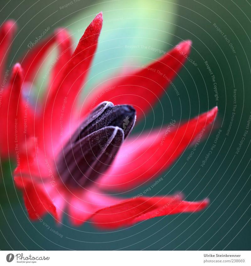 Exotic Summer Natur schön rot Pflanze Farbe schwarz Frühling Blüte Kraft außergewöhnlich natürlich elegant Wachstum ästhetisch leuchten Spitze