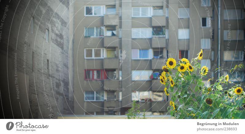Hinterhofflair alt grün Stadt Pflanze Sommer Blume Haus gelb Fenster Wand grau Mauer Deutschland Fassade trist Blühend