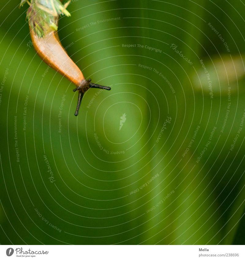 \--/ Umwelt Natur Pflanze Gras Tier Schnecke Nacktschnecken Fühler 1 hängen Ekel klein lustig nah natürlich schleimig grün Farbfoto Außenaufnahme Menschenleer