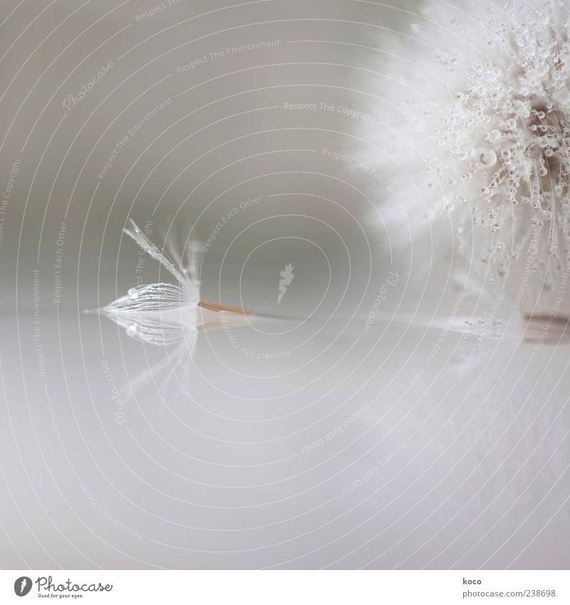 Strange Angels Frühling Sommer Pflanze Blume Blüte Löwenzahn Wasser Tropfen flugunfähig liegen ästhetisch Flüssigkeit einzigartig klein nass braun grau silber
