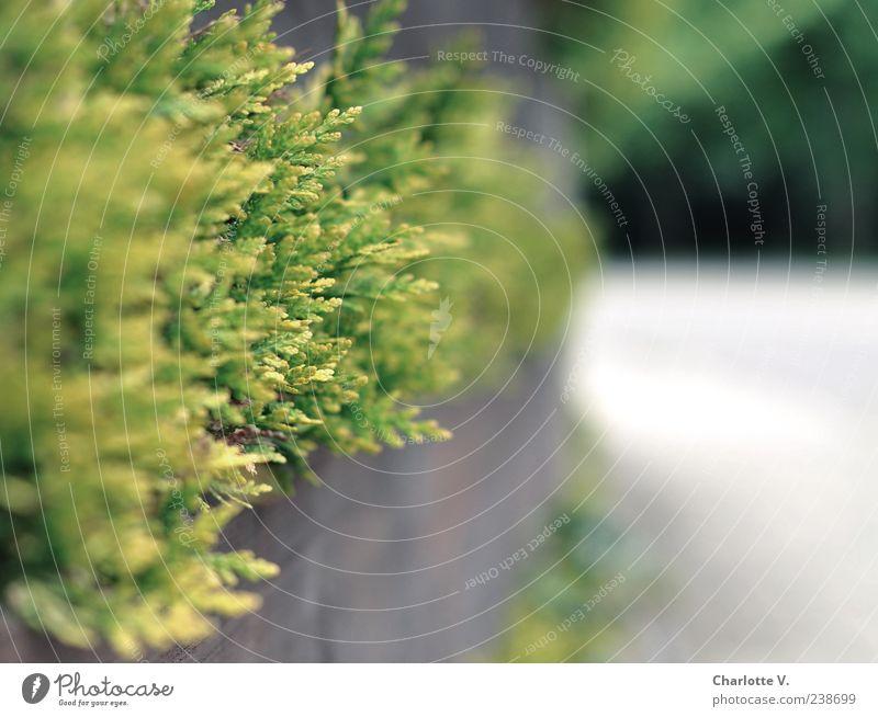 Thuja Hecke grün Pflanze Einsamkeit Umwelt Frühling Holz grau Garten braun Deutschland Spitze einfach Schutz Zaun Grenze Langeweile