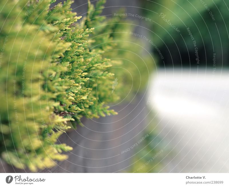 Thuja Hecke Umwelt Frühling Pflanze Garten Deutschland Kleinstadt Holz einfach braun grau grün Schutz Ausdauer Ordnungsliebe Langeweile Einsamkeit Grenze