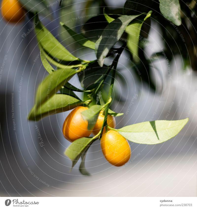 Sommergefühl Natur Ferien & Urlaub & Reisen schön Baum Pflanze Umwelt Leben Zeit Gesundheit orange Frucht Orange ästhetisch Wachstum Wandel & Veränderung