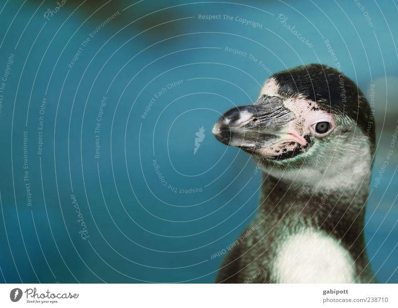 Ein anderer Tag im Zoo [no5] Tier Wildtier Aquarium Pinguin 1 niedlich blau Fröhlichkeit Lebensfreude Heimweh Schnabel Vogel Tierliebe Tiergesicht Zoologie